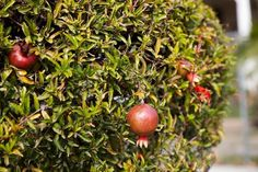 pomegranate plants pruned into sculpted bushes where fruits hang like seasonal ornaments.