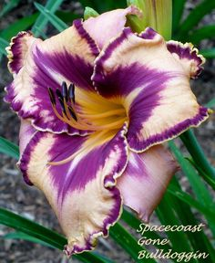 'Spacecoast Gone Bulldoggin' T. EM SEV katielou bonus front border top middle of bottom tier All Flowers, Exotic Flowers, Amazing Flowers, Beautiful Flowers, Lily Garden, Asiatic Lilies, Garden Bulbs, Day Lilies, Cool Plants