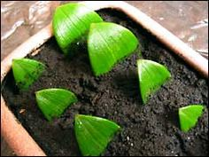 Best 12 New propagation idea for starting rose cuttings. She got roses to root by wrapping them in damp newspaper 'burritos'! Read the instructions before trying, important! == Pushing the Rose Envelope: Wrapping cuttings – SkillOfKing. Indoor Orchids, Orchids Garden, Orchid Plants, Garden Plants, Indoor Plants, House Plants, Balcony Gardening, Garden Landscaping, Orchid Terrarium