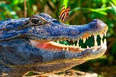 The Black Caiman (Melanosuchus niger) is a large crocodilian. Saltwater Croc, Alligators, Biomes, Albino, Beautiful Creatures, Rivers, Reptiles, Lakes, Basin