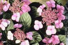 "Twist-n-Shout hydrangeas, Hydrangea macrophylla ""Twist-n-Shout,"" are part of the recently developed ""Endless Summer"" varieties. These hydrangeas perform well in a ..."