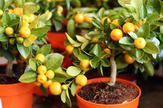 Plantar árboles en macetas