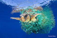 Una tartaruga marina impigliata in una rete da pesca, al largo della costa di Tenerife, nella Isole Canarie, in Spagna, 8 giugno 2016. Le tartarughe marine sono considerate una specie a rischio dall'Unione Internazionale per la Conservazione della Natura