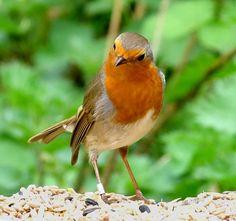 Beautiful Little Robin, Rødkælk, Rødhals, beauty, bird, precious, cute, nuttet, photo