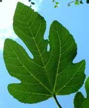 Como fazer Licor de Folhas de Figueira : Receitas de Licores Caseiros