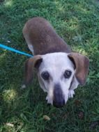 Diamond #08981 - Dachshund Rescue of North America, senior Doxie 12 years old, up to date on vaccines and ready to find her new home.