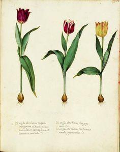 botanical tulip
