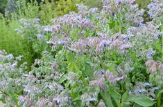 Borago Officinalis,  Borage, Cool Tankard, Talewort, Tailwort, Blue flowers