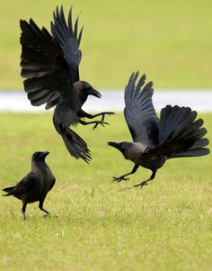Looks like the Crows are having a Weeee bit of an Argument!!! posted by the theraptorcage but I'm not sure they're the Photographer.