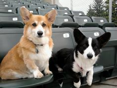 I can's wait to get our cardigan corgi. Gustus needs a brother ;)