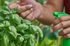 Garden Pest Control entails the regulation and control of pests, which is a type of species that are damaging to plants. Garden pests diminish the quality and Compost Tea, Garden Compost, Garden Pests, Garden Fertilizers, Organic Gardening, Gardening Tips, Vegetable Gardening, Plantain Herb, How To Make Compost