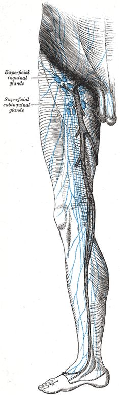Lymph nodes of the leg and inguinal nodes