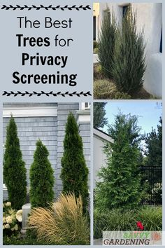 Need to block out a noisy neighbor or screen out a terrible view? These trees can help! Meet some of the best evergreen trees for privacy screening and noise reduction. Evergreen Trees For Privacy, Best Trees For Privacy, Shrubs For Privacy, Privacy Trees, Evergreen Shrubs, Trees And Shrubs, Trees To Plant, Fence Trees, Backyard Trees