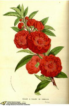 Flowering Peach. Prunus persica (L.) Stokes var. camelliiflora. Flore des serres et des jardins de l'Europe v.13 (1858)