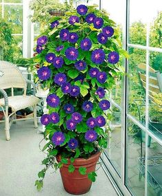 Morning glories on a tomato cage. They require lots of water in a pot so might work better in the ground.