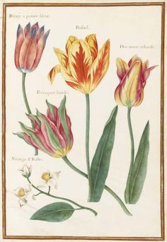 Stylized drawing of four broken tulips, and a spray of Siringa. Robert, Nicolas; draughtsman; attributed to; French artist, 1614-1685.