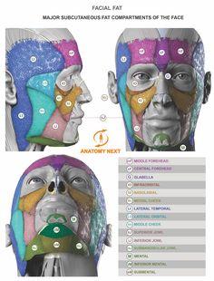 Facial fat www.anatomynext.com