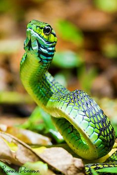 Dispholidus typus (Boomslang)