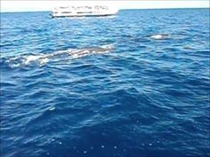 Encounter with Humpback Whales on MV Seastar, Cairns, Australia - http://www.nopasc.org/encounter-with-humpback-whales-on-mv-seastar-cairns-australia/