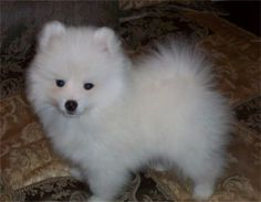 Toy American Eskimo Dogs and Puppies. Miniature American Eskimo, American Eskimo Puppy, White Puppies, White Dogs, Puppies For Sale, Dogs And Puppies, Doggies, Samoyed Puppies, Puppys
