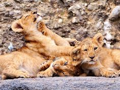 Playing Lion Cubs 1400x1050