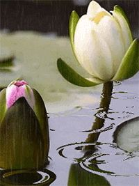 White and pink louts flowers. Flowers Gif, Love Flowers, Purple Flowers, Beautiful Gif, Beautiful Roses, Nymphaea Lotus, Gif Bonito, Beau Gif, Rain Gif