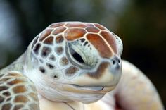 I love turtles :) Visit our page here: http://what-do-animals-eat.com/turtles/  #turtles #turtle #petturtle #whatdoturtleseat