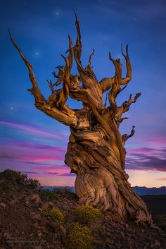 ~~The Wicked Tree • 4700 year old Bristlecone Pine, Piper Mountain Wilderness, Inyo County, California • by Greg Boratyn~~