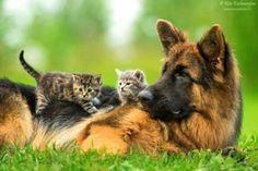 ..kitties and german shepherd