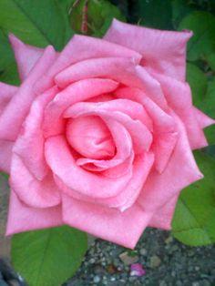 Rosa de l'hort