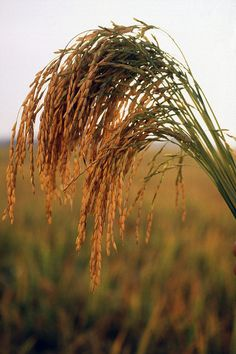 More than 100 varieties of rice are commercially produced primarily in six states Arkansas, Texas, Louisiana, Mississippi, Missouri and California.