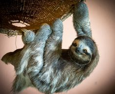 Acrobatic Sloth by Dale L Puckett on Flickr.
