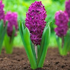 Hyacinths bloom in mid-Spring at the same time as daffodils, triumph tulips and Darwin hybrid tulips. Description from longfield-gardens.com. I searched for this on bing.com/images