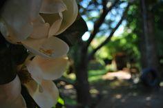 Verano silvestre off line. Summer in the garden. Magnolia