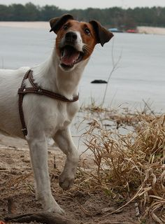 fox terrier by all made in Poland, via Flickr....this must be a distant relative of Apollo!!!
