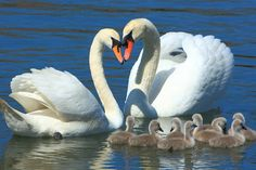 A beautiful Swan Family, lots of babies Swan Love, Beautiful Swan, Beautiful Birds, Animals Beautiful, Beautiful Family, Animals And Pets, Baby Animals, Cute Animals, Cygnus Olor