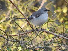 Northern Mockingbird - Bill Townsend