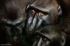 The glance - Jami Tarris - Wildlife Photographer of the Year 2012 : Animal Portraits - Commended