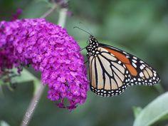 Monarch on Butterfly Bush....