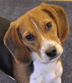 dogs on pinterest beagles rat terriers and beagle puppies