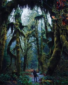 The Hoh Rainforest on the Olympic Peninsula of Washington state. It's one of those surreal places who's beauty is hard to fully comprehend. This is what roughly of average annual precipitation in a cold temperate forest looks like. Places To Travel, Places To Visit, Travel Destinations, Washington Usa, Washington Hiking, Forks Washington, Western Washington, Nature Images, Pacific Northwest