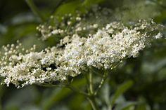 Holunder Heilpflanze