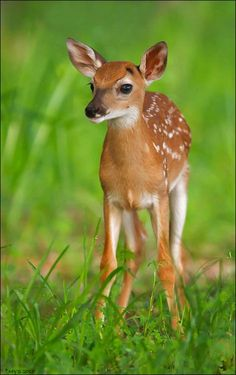 ☀A young deer walking in the tall grass with white dots covering its body.