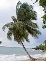 Cocotero, Coco, Palma cocotera, Palmera de coco, Adiaván, Palma de coco, Palma indiana