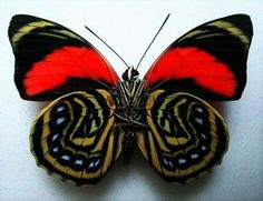 Beautiful Butterflies are one of a lot of varied as well as attractive insects worldwide. The huge team of butterflies consist of greater than 250000 flavor Papillon Butterfly, Butterfly Kisses, Butterfly Flowers, Butterfly Wings, Butterfly Template, Butterfly Dragon, Monarch Butterfly, Cool Insects, Flying Insects