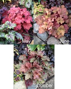 Coral Bells and Hybrids | Fine Gardening: #Heuchera #Rio #Composite