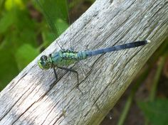 My dragonflies love posing for me.