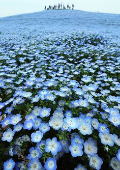 Hitachi easide Park, Ibaraki, Japan. The flowers are called Baby Blue Eyes (Nemophilia) and can be grown from seed as annuals here!