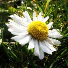 Het gras vol vrolijke madeliefjes en een fijn zonnetje… lentekriebels!  #lente #spring #madeliefje #daisy #Mooirivier