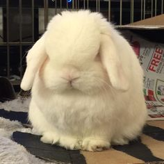 If only they'd make a cloud emoji with eyes  It'd be a more accurate representation of me  #rabbit #rabbitofig #bunny #bunnyofig #instabunny #instarabbit #hollandlop #housebunny #houserabbit #dailyfluff #dailybunny #petagram  #petsofinstagram #bunniesofinstagram #weeklyfluff #animals #animalsofinstagram  #bunnylovers #fluffy #bunniesworldwide by momoandbear